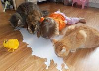 Toddler girl licking milk off the floor with the cats.JPG