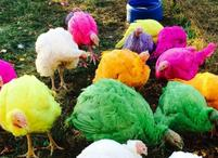 Colored turkeys at the HIt of Connecticute Turkey Farm.JPG