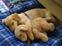 Cute little puppy picture of dog hugging its teddy bear.JPG