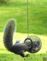 Funny Squirl picture eating bird seeds