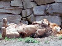 Male lion sleeping on its back