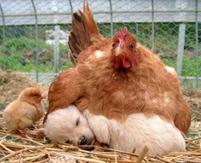 Puppy and chicken funny photos of hen laying on puppy sleeping