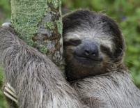 Tree hugger the sloth with funny facial expression