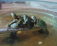 Turtles mating funny pictures