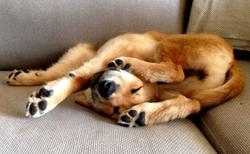 Flexible puppy in deep sleep