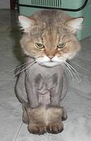 Funny looking cat with shaved body.jpg