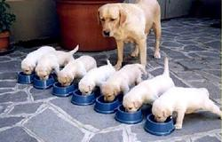 funny dog image of mommy dog watching her pups eating in lining.JPG