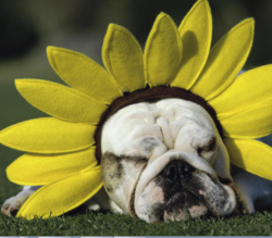 Dog with funny floral hat.PNG