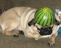 Funny image of dog wearing a water melon hat.PNG