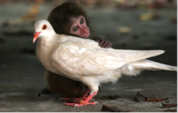 Cute little monkey hugging a dove.PNG