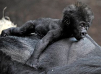 Gorilla Bahgira nurses her baby in the zoon in Munich, Germany.PNG