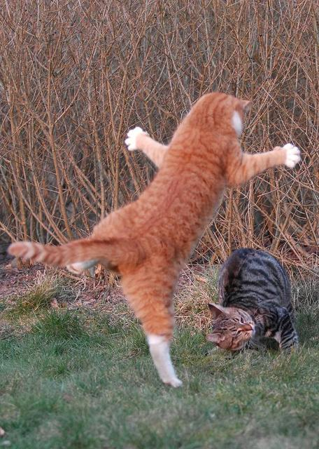 Orange cat about to do some Kung Fu on tabby cat.jpg