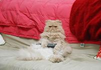 Persian cat holds a remote control.jpg