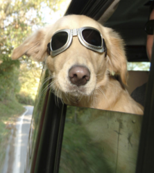 Funny dog photos with dog wearing sunglasses sticking head from the car.PNG
