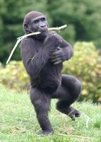 A little gorilla dances with a stick in mouth.jpg