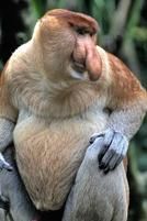 A monkey that looks like Squidward from Spongebob.jpg