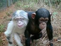 A white and black haired chimp are friends.jpg