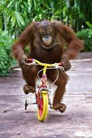 An orangutan monkey riding a bike.jpg