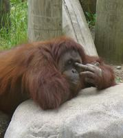 An orangutan shows the middle finger.jpg