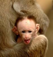 Baby monkey sticks out tongue.jpg