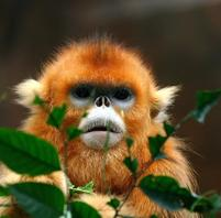 Funny looking golden monkey.jpg