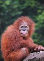 Orangutan with fuzzy hair.jpg