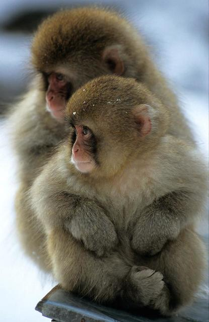 Two monkeys huddle together in the snow.jpg