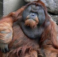 A big, perhaps overweight orangutan.jpg
