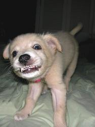 Funny photo of a little puppy baring its fangs.jpg