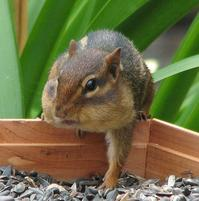 A funny looking puffy-cheeked squirrel.jpg