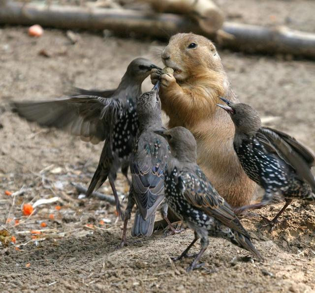 Funny animal photo of a beaver competing with birds over a kibble.jpg