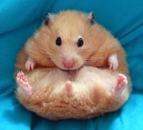 Funny looking hamster on his back.jpg
