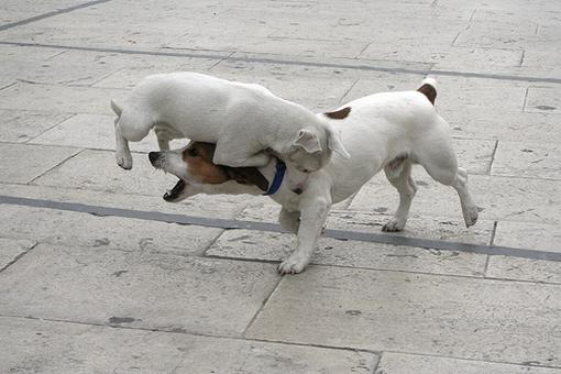 Funny picture of a little white dog jumping on another dog's neck.jpg