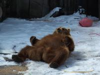 Funny pic of a brown bear on its back.jpg