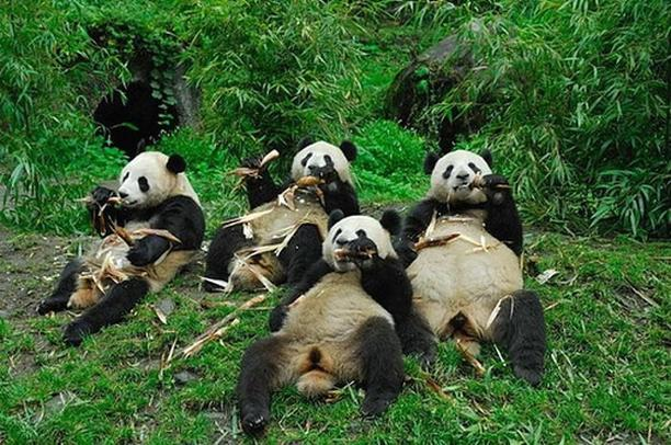 Funny picture of four panda bears eating bamboo together.jpg