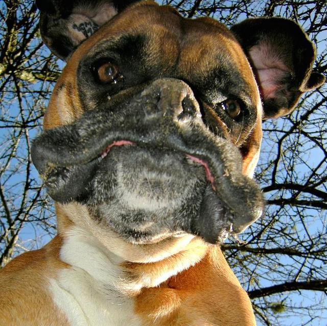Funny view of a boxer dog from below.jpg
