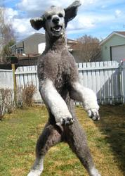 A funny looking poodle jumps.jpg
