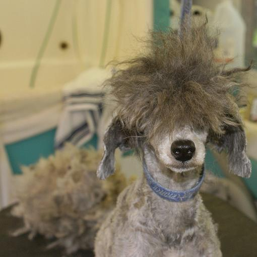 A funny looking poodle with messy hair.jpg