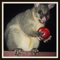 Funny looking marsupial holds an apple and looks surprised.jpg