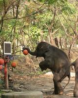 Elephant grabs a basketball and about to slam it home.jpg