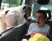Funny picture of a kid very surprised at a horse sticking its head inside the car.jpg
