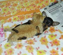 Funny photo of a puppy Chihuahua hugging a kitten.jpg