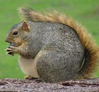 A pudgy squirrel eats a nut.jpg