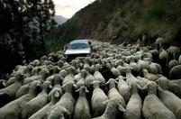 Funny photo of a car surrounded by a big group of sheep.jpg