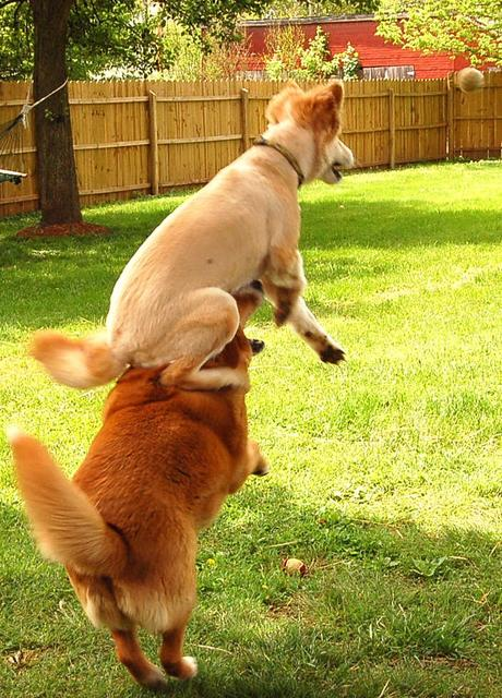 Funny photo of a dog jumping high on another dog.jpg