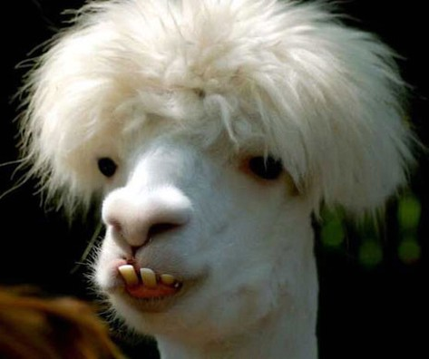 lama with stylish hairstyle.jpg