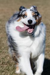 funny looking dog running with its tounge flying on the side of its mouth.jpg