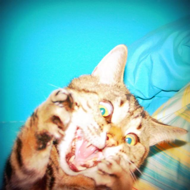 Funny cat has a crazed look.jpg