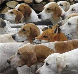 Funny picture of a fox blending in amonst dogs.jpg