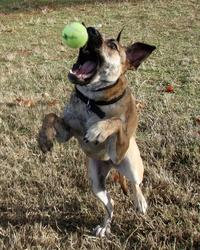 Funny image of a dog about to grab a tennis ball in the air.jpg